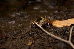 Bull Frog In Swomp Stock Images