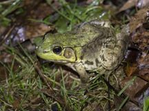 Lithobates catesbeianus. Bull frog during the vernal migration to the breeding pond royalty free stock photos