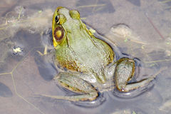 Bull-frog in water close-up 2 Royalty Free Stock Photos