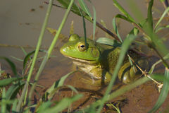 Bull frog in weeds Royalty Free Stock Photos