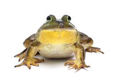 Bull Frog. On a White Background Royalty Free Stock Photo