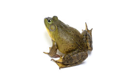 Bull Frog Stock Photos
