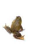 Bull Frog Royalty Free Stock Photo