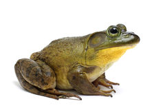 Bull Frog. On a White Background Royalty Free Stock Photos