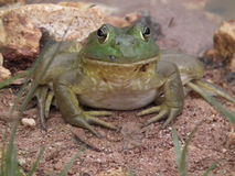 Free Bull Frogs Royalty Free Stock Image - 43616136