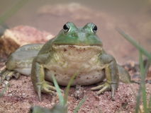 Free Bull Frogs Stock Image - 43616551