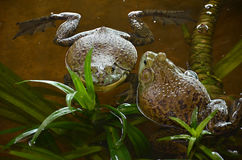 Bull frogs at a frog farm Stock Photos