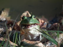 Bull Frogs Stock Photography
