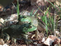 Bull Frogs Royalty Free Stock Photos
