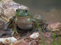 Bull Frogs Royalty Free Stock Photo