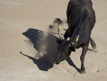 Bull furioso na arena Imagens de Stock Royalty Free