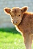 Bull, ganado escocés de la montaña Fotos de archivo libres de regalías