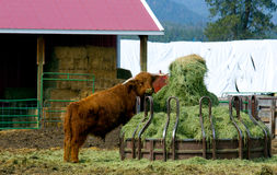 Bull Getting Into The Hay Royalty Free Stock Image