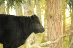 Bull in gloomy rainy pasture during fall. Stock Images