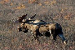 Bull grande Imagenes de archivo