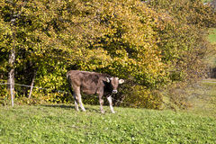 Bull on Grass in Autumn Stock Photography