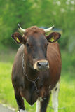 The bull is on the grass Royalty Free Stock Photo