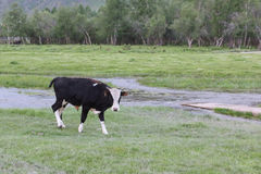 The bull is grazed on the riverbank Stock Images