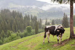 Bull grazes on a meadow against a background of mountains covered with tusan Royalty Free Stock Image