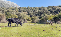 Bull grazing Royalty Free Stock Image