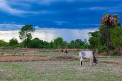 Bull grazing in the after harvested paddy field Royalty Free Stock Photography