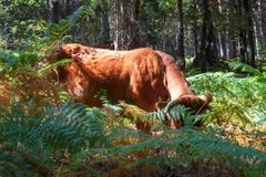 Bull grazing royalty free stock photography