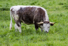 Bull grazing Royalty Free Stock Image