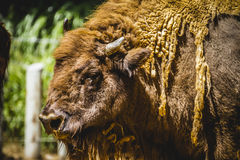 Bull, great and mighty bison, america Stock Photo