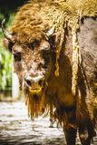 Bull, great and mighty bison, america Royalty Free Stock Image