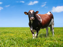 Bull on green field Stock Photos