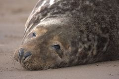 Bull grey seal Stock Photo