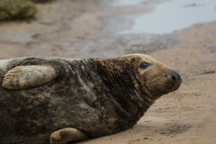 Bull Grey Seal Royalty Free Stock Photos