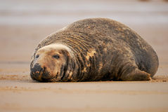 Bull grey seal with one eye open Royalty Free Stock Photo