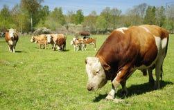 Bull guarding the flock Royalty Free Stock Image