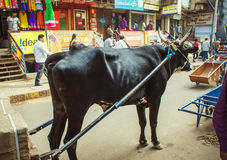 Bull in harness Royalty Free Stock Photos