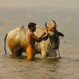 Bull Having Bath Stock Images