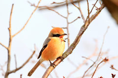 Bull-headed shrike Royalty Free Stock Images