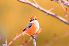 Bull-headed shrike Stock Photo