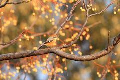 Bull-headed shrike Stock Photography