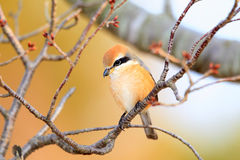 Bull-headed shrike Royalty Free Stock Photo