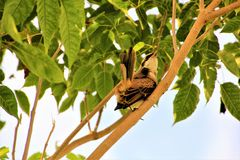 Bull headed shrike perched on a tree Royalty Free Stock Image