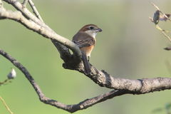 Bull-headed shrike on tree branch Stock Photo