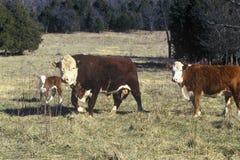 Bull, Heifer and calf, Bourbon, Mo Royalty Free Stock Photo