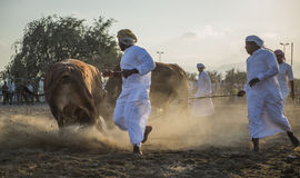 Bull herders controls the bull fight Stock Images