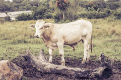 Bull in the hill and a rotten tree stock photo