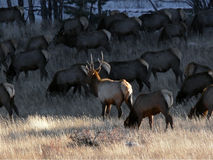 Bull with His Harem. A bull elk watches over his harem of cows Royalty Free Stock Images