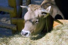 Bull horns farm hay mammal Royalty Free Stock Photography