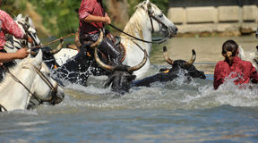 Bull and horses in water. Swimming bull and horses in the river royalty free stock photo