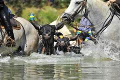 Bull and horses in water. Swimming bull and horses in the river stock photography