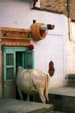 Bull In House Stock Photo
